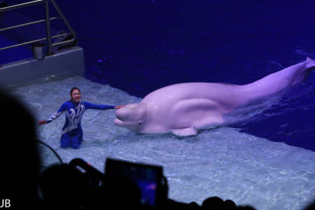 Beluga Wal